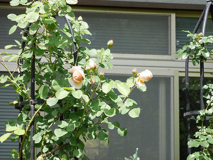 アンナ・フェンディ(Anna Fendi)の花が少し咲いた。半ツルバラ。2021年-017.jpg