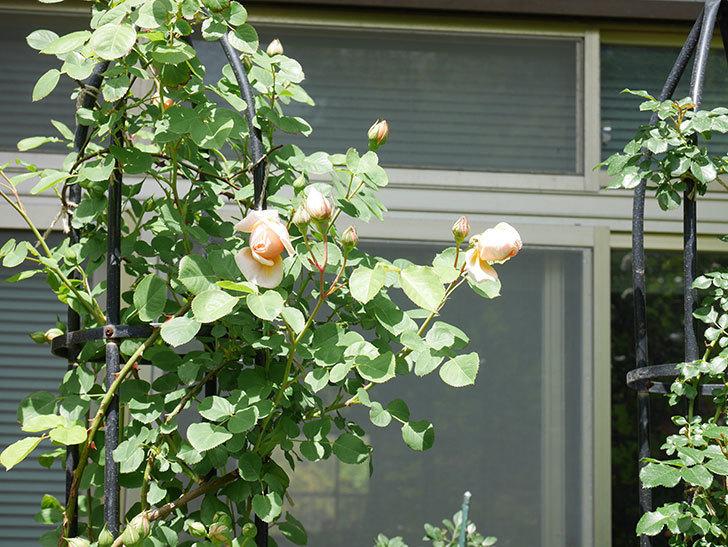 アンナ・フェンディ(Anna Fendi)の花が少し咲いた。半ツルバラ。2021年-018.jpg