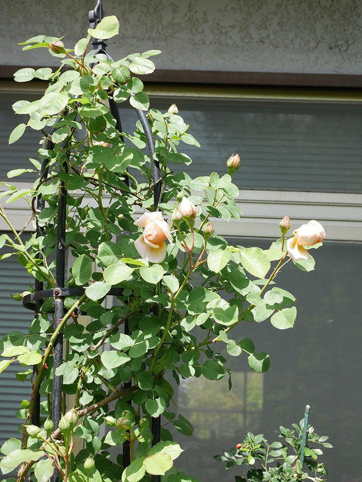 アンナ・フェンディ(Anna Fendi)の花が少し咲いた。半ツルバラ。2021年-019.jpg