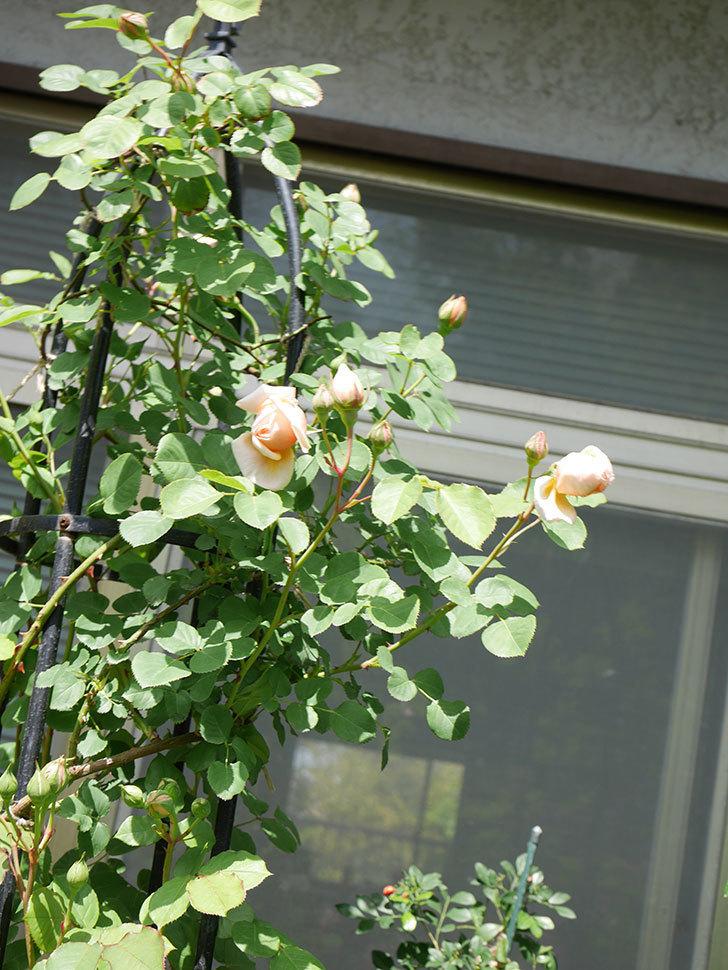 アンナ・フェンディ(Anna Fendi)の花が少し咲いた。半ツルバラ。2021年-020.jpg