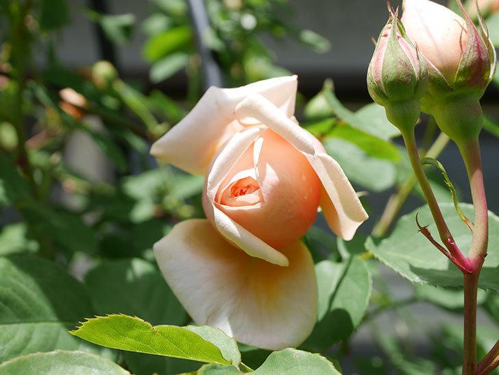 アンナ・フェンディ(Anna Fendi)の花が少し咲いた。半ツルバラ。2021年-021.jpg