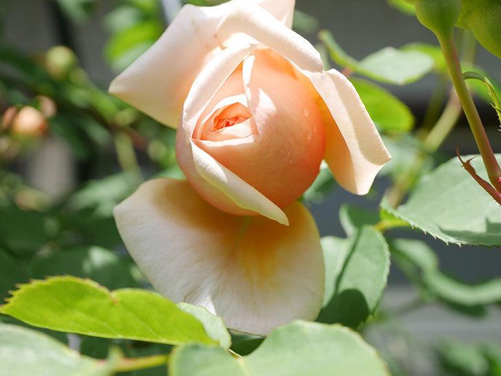 アンナ・フェンディ(Anna Fendi)の花が少し咲いた。半ツルバラ。2021年-023.jpg