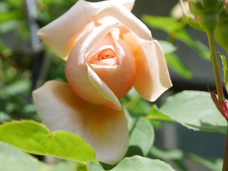 アンナ・フェンディ(Anna Fendi)の花が少し咲いた。半ツルバラ。2021年-024.jpg