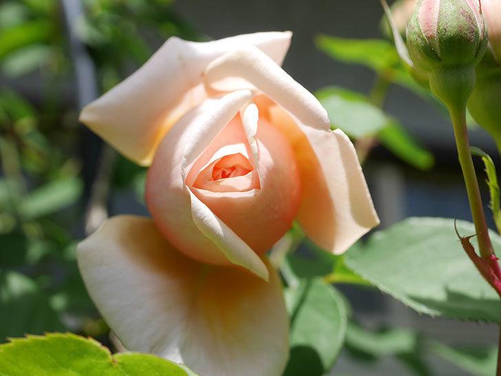 アンナ・フェンディ(Anna Fendi)の花が少し咲いた。半ツルバラ。2021年-025.jpg