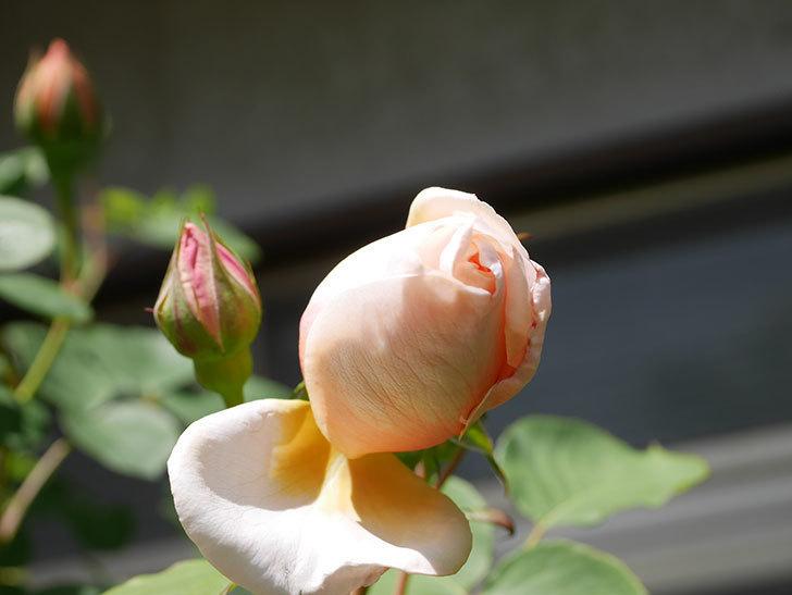 アンナ・フェンディ(Anna Fendi)の花が少し咲いた。半ツルバラ。2021年-026.jpg