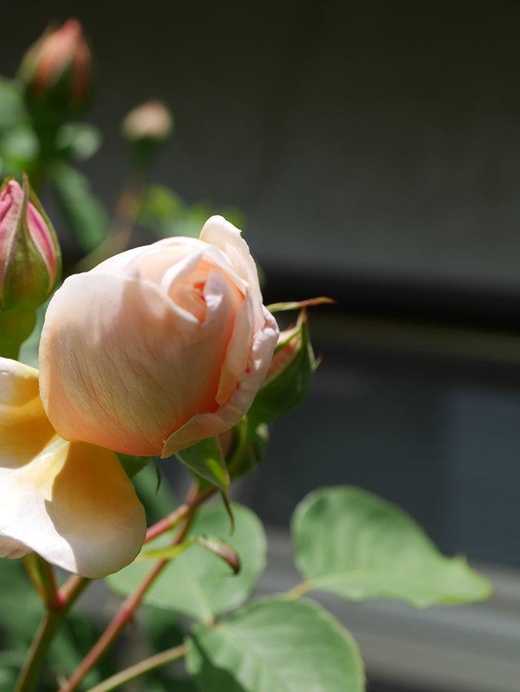 アンナ・フェンディ(Anna Fendi)の花が少し咲いた。半ツルバラ。2021年-027.jpg