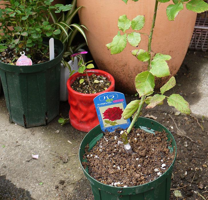 アンプルール・デュ・マロック(ツルバラ)の新苗を5号ロングスリット鉢に植えた。2016年-1.jpg