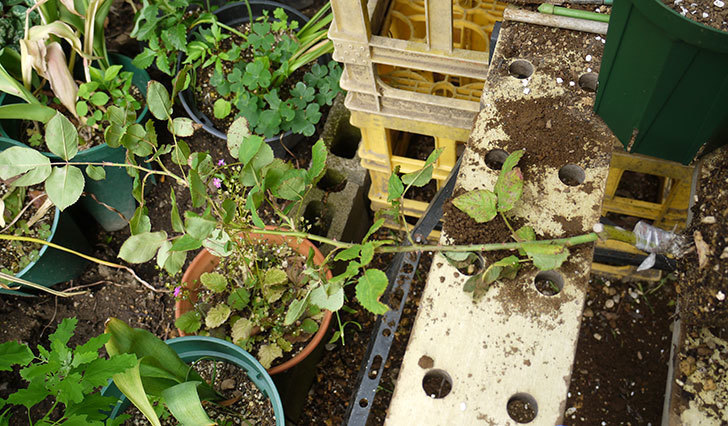 アンプルール・デュ・マロック(ツルバラ)の新苗を5号ロングスリット鉢に植えた。2016年-2.jpg