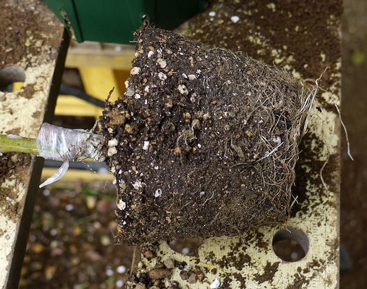 アンプルール・デュ・マロック(ツルバラ)の新苗を5号ロングスリット鉢に植えた。2016年-3.jpg