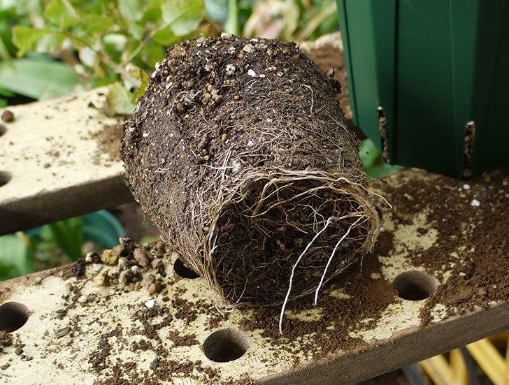 アンプルール・デュ・マロック(ツルバラ)の新苗を5号ロングスリット鉢に植えた。2016年-4.jpg