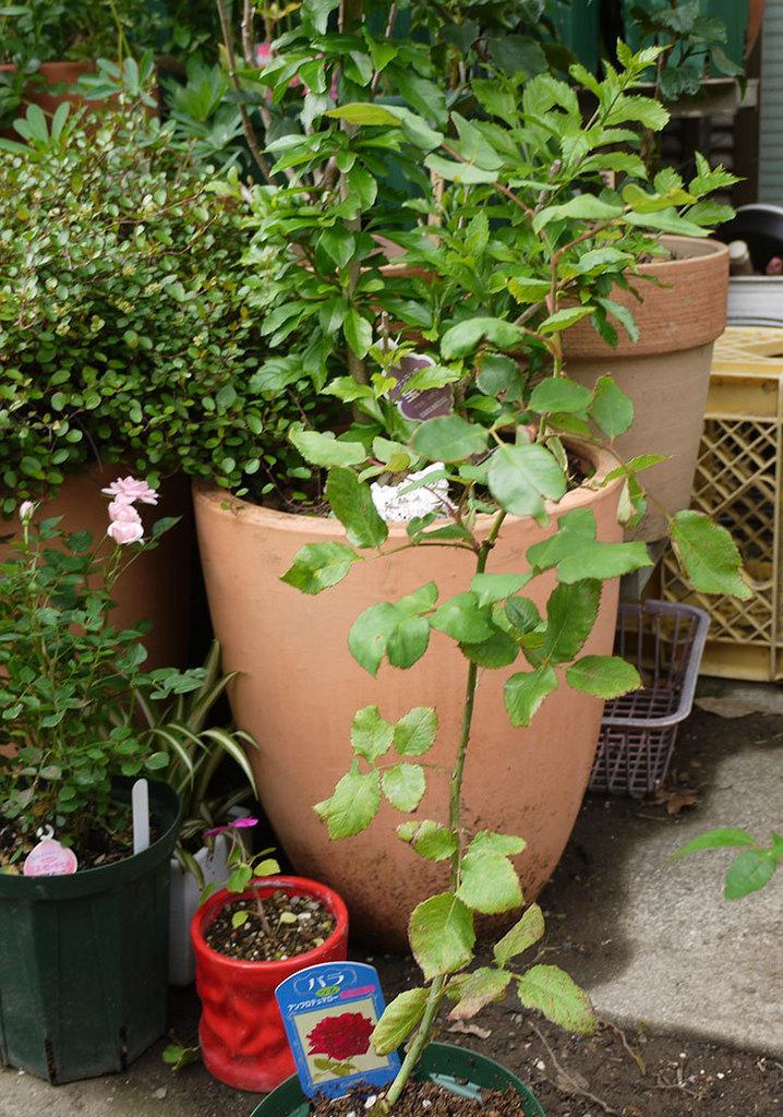 アンプルール・デュ・マロック(ツルバラ)の新苗を5号ロングスリット鉢に植えた。2016年-5.jpg