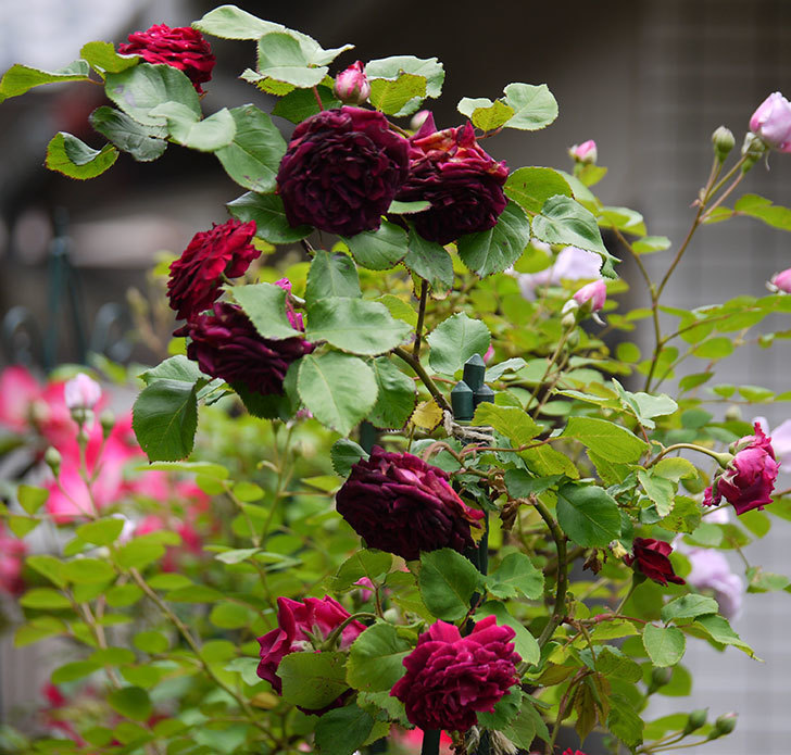 アンプルール・デュ・マロック(ツルバラ)の花がたくさん咲いた。2017年-1.jpg