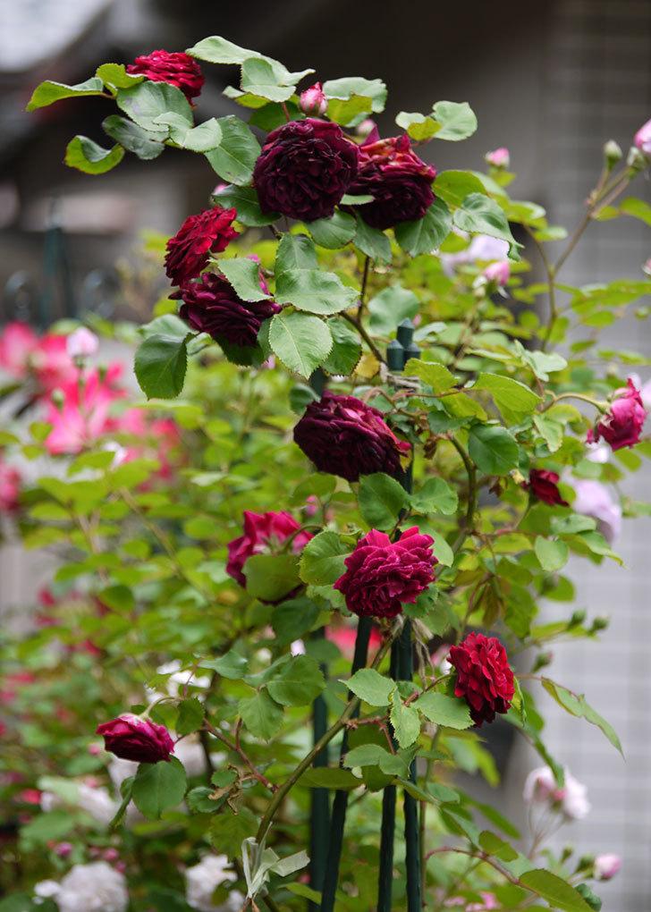 アンプルール・デュ・マロック(ツルバラ)の花がたくさん咲いた。2017年-2.jpg