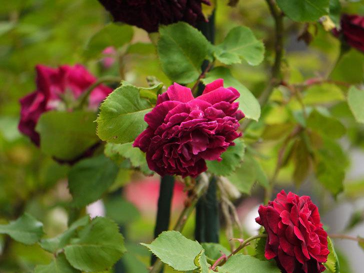 アンプルール・デュ・マロック(ツルバラ)の花がたくさん咲いた。2017年-3.jpg