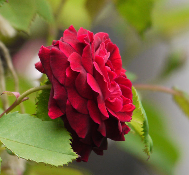 アンプルール・デュ・マロック(ツルバラ)の花がたくさん咲いた。2017年-5.jpg