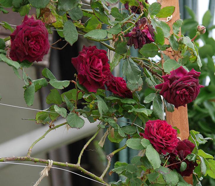 アンプルール・デュ・マロック(ツルバラ)の花がたくさん咲いた。2019年-1.jpg