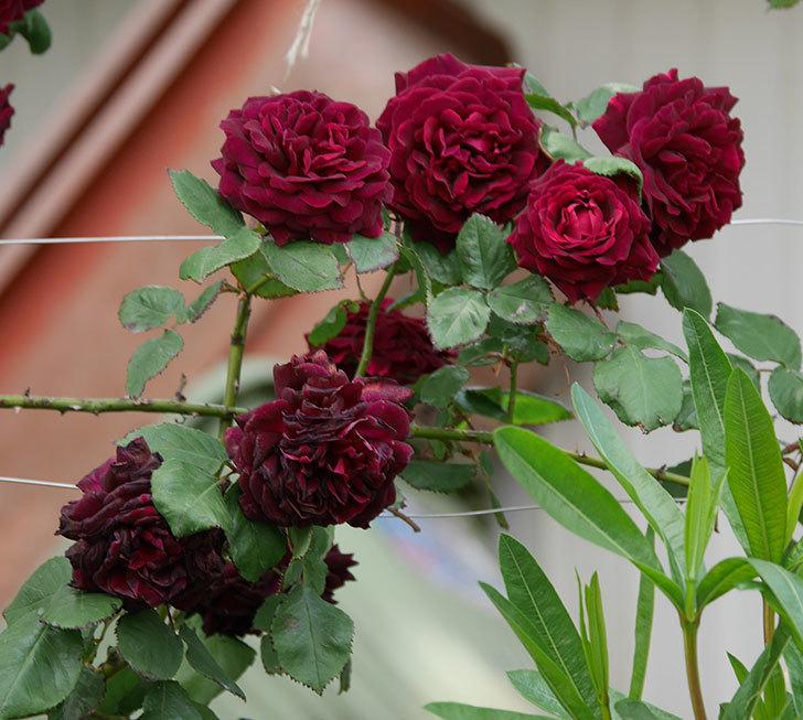 アンプルール・デュ・マロック(ツルバラ)の花がたくさん咲いた。2019年-10.jpg