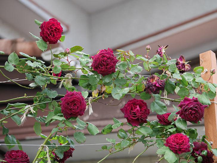 アンプルール・デュ・マロック(ツルバラ)の花がたくさん咲いた。2019年-11.jpg