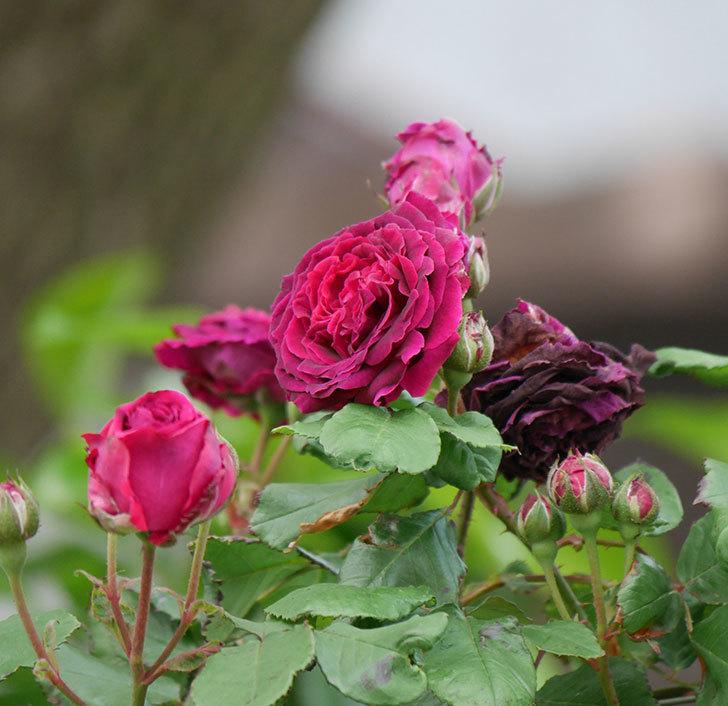 アンプルール・デュ・マロック(ツルバラ)の花がたくさん咲いた。2019年-12.jpg