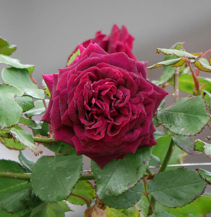 アンプルール・デュ・マロック(ツルバラ)の花がたくさん咲いた。2019年-13.jpg