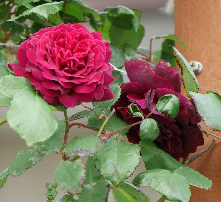アンプルール・デュ・マロック(ツルバラ)の花がたくさん咲いた。2019年-14.jpg