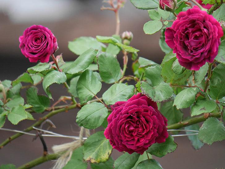 アンプルール・デュ・マロック(ツルバラ)の花がたくさん咲いた。2019年-15.jpg