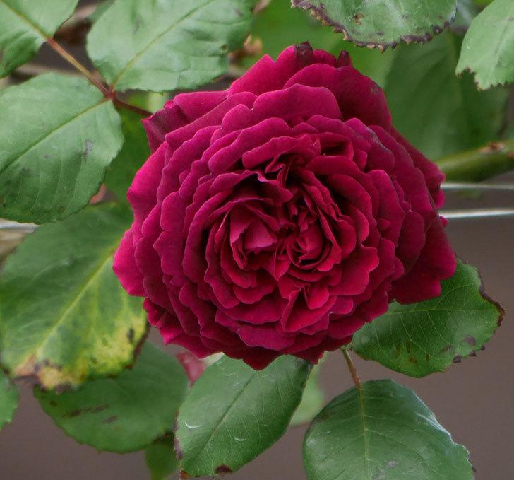 アンプルール・デュ・マロック(ツルバラ)の花がたくさん咲いた。2019年-16.jpg