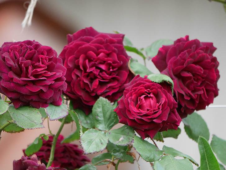 アンプルール・デュ・マロック(ツルバラ)の花がたくさん咲いた。2019年-17.jpg