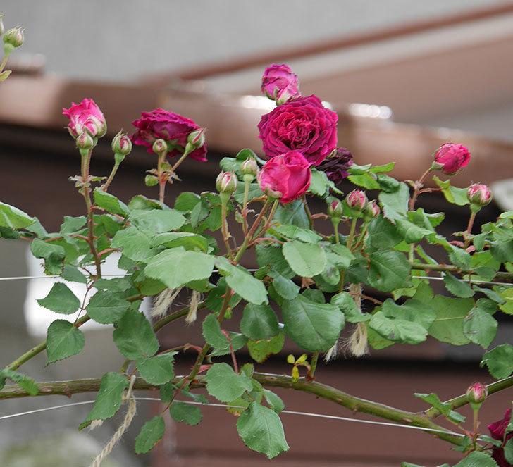 アンプルール・デュ・マロック(ツルバラ)の花がたくさん咲いた。2019年-2.jpg
