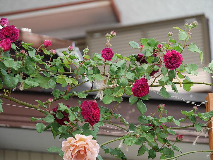 アンプルール・デュ・マロック(ツルバラ)の花がたくさん咲いた。2019年-3.jpg