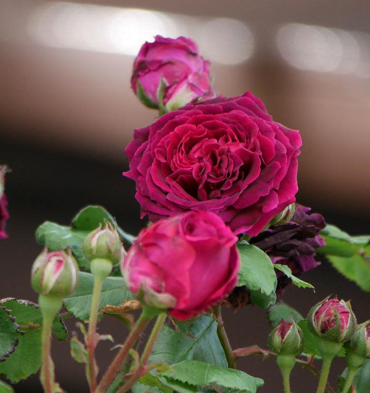 アンプルール・デュ・マロック(ツルバラ)の花がたくさん咲いた。2019年-5.jpg