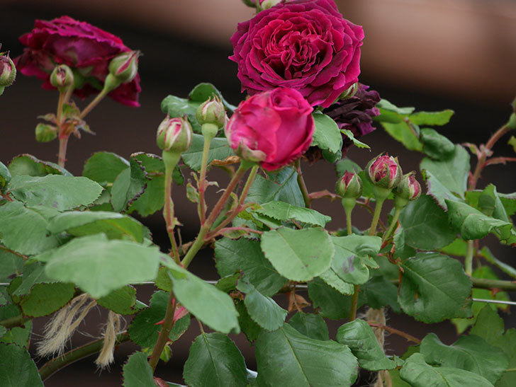 アンプルール・デュ・マロック(ツルバラ)の花がたくさん咲いた。2019年-6.jpg