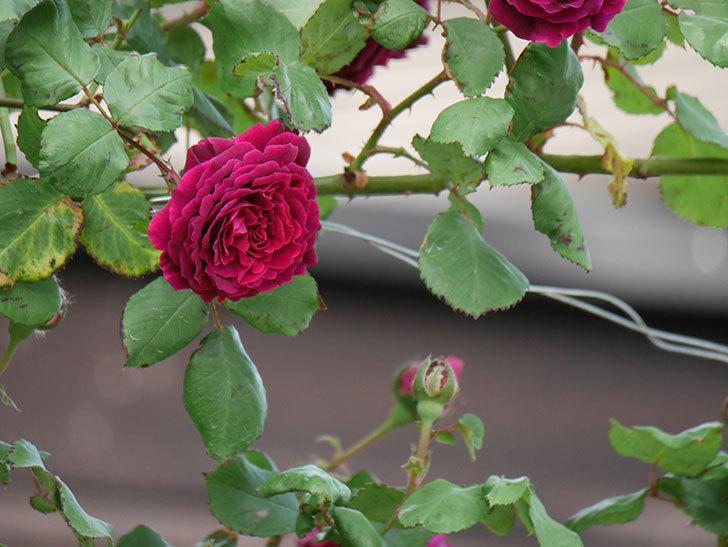 アンプルール・デュ・マロック(ツルバラ)の花がたくさん咲いた。2019年-7.jpg