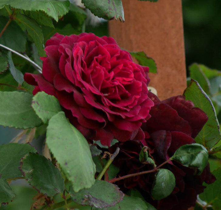 アンプルール・デュ・マロック(ツルバラ)の花がたくさん咲いた。2019年-8.jpg
