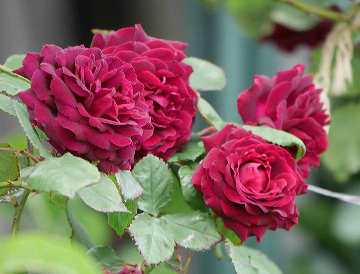 アンプルール・デュ・マロック(ツルバラ)の花がたくさん咲いた。2019年-9.jpg