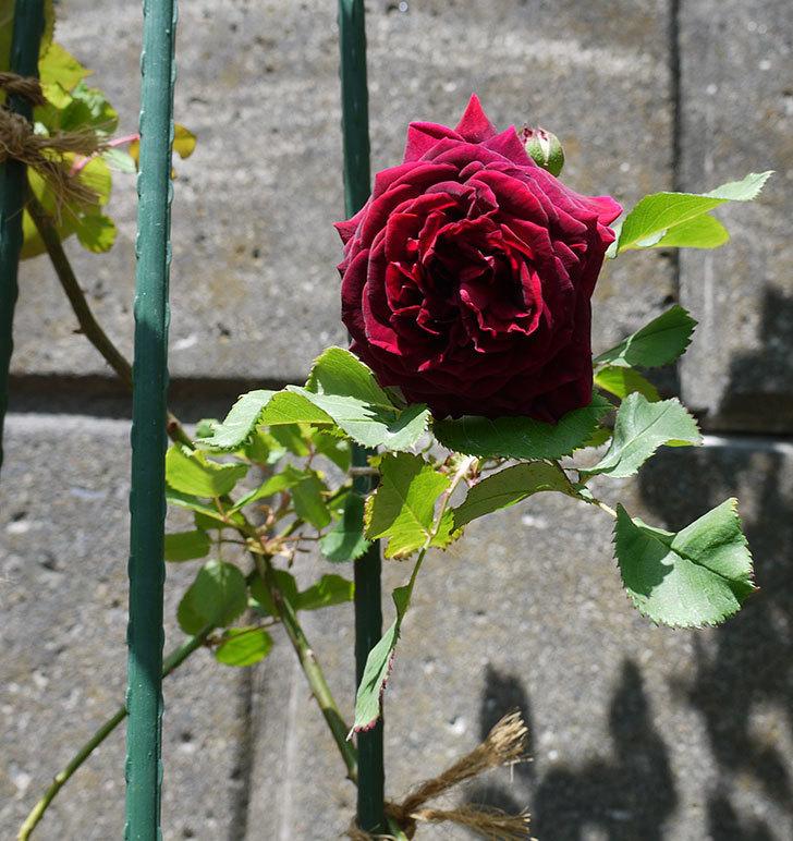 アンプルール・デュ・マロック(ツルバラ)の花が咲いた。2017年-2.jpg