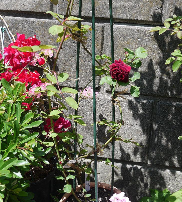 アンプルール・デュ・マロック(ツルバラ)の花が咲いた。2017年-5.jpg