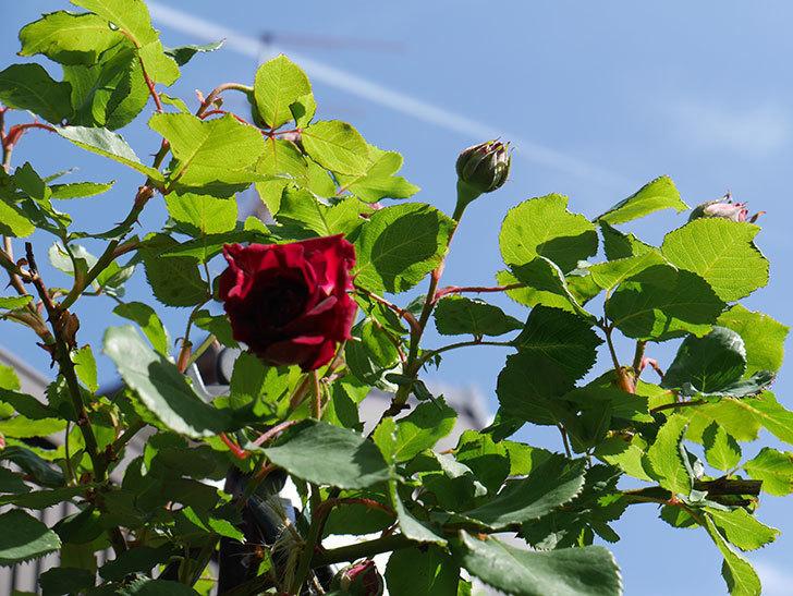 アンプルール・デュ・マロック(ツルバラ)の花が咲いた。2018年-10.jpg