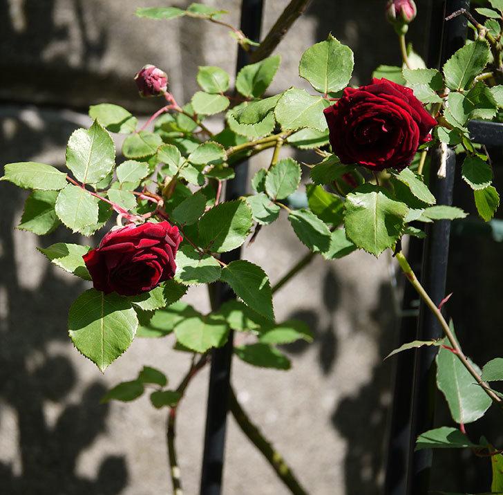 アンプルール・デュ・マロック(ツルバラ)の花が咲いた。2018年-11.jpg