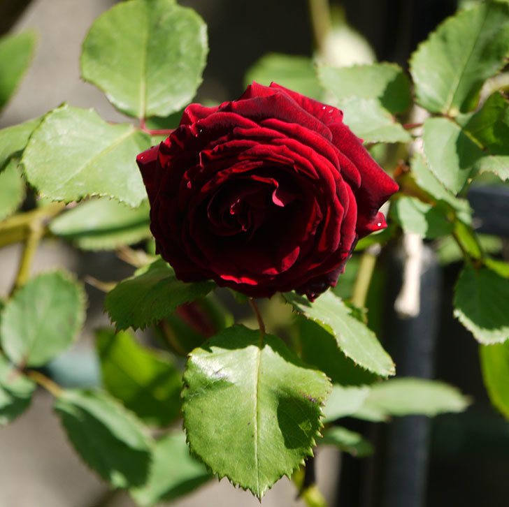 アンプルール・デュ・マロック(ツルバラ)の花が咲いた。2018年-12.jpg