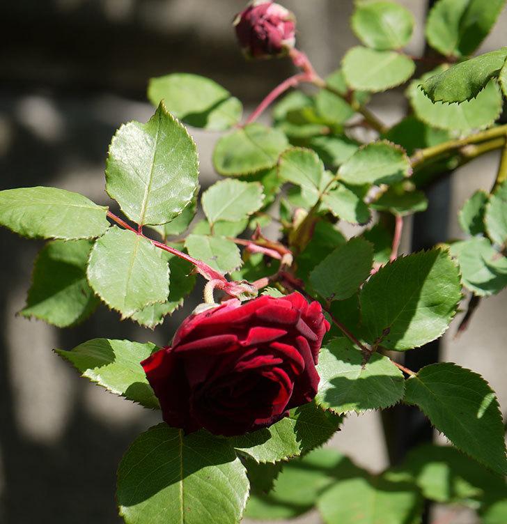 アンプルール・デュ・マロック(ツルバラ)の花が咲いた。2018年-13.jpg