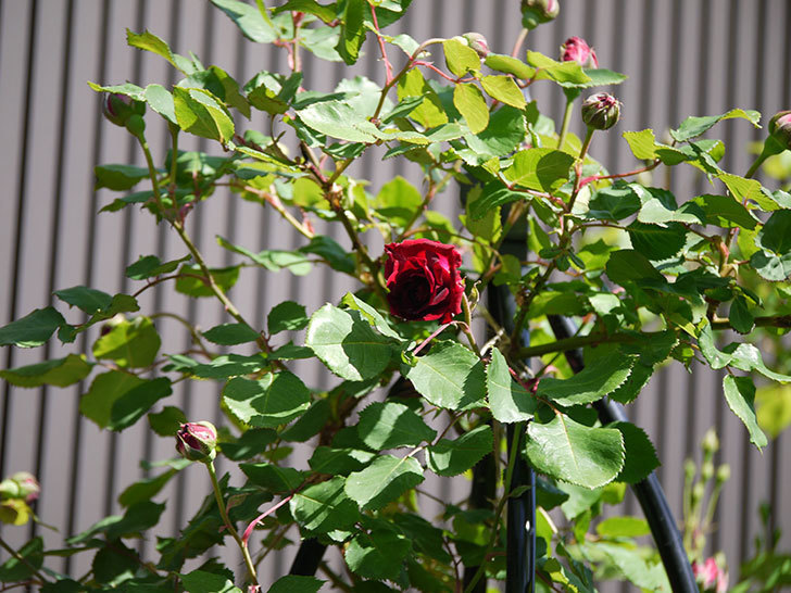 アンプルール・デュ・マロック(ツルバラ)の花が咲いた。2018年-14.jpg