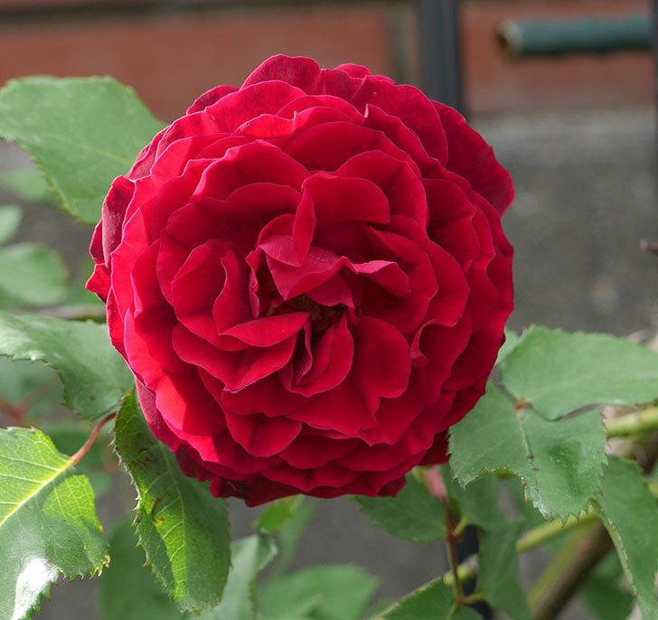 アンプルール・デュ・マロック(ツルバラ)の花が咲いた。2018年-3.jpg