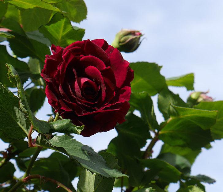 アンプルール・デュ・マロック(ツルバラ)の花が咲いた。2018年-4.jpg