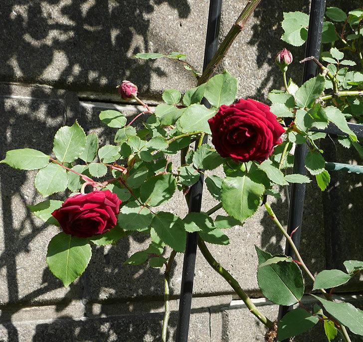 アンプルール・デュ・マロック(ツルバラ)の花が咲いた。2018年-6.jpg