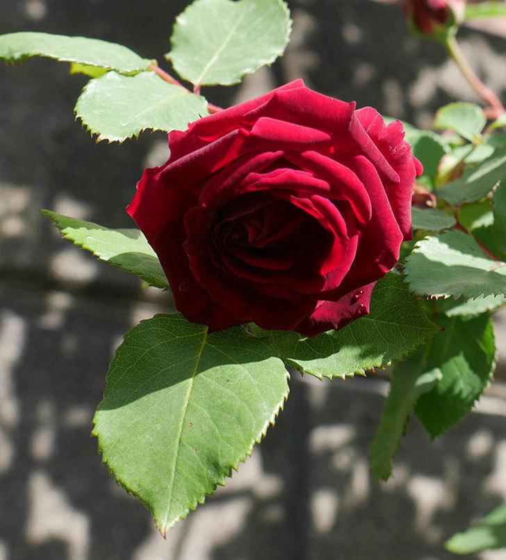 アンプルール・デュ・マロック(ツルバラ)の花が咲いた。2018年-8.jpg