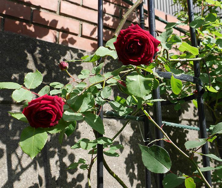 アンプルール・デュ・マロック(ツルバラ)の花が咲いた。2018年-9.jpg