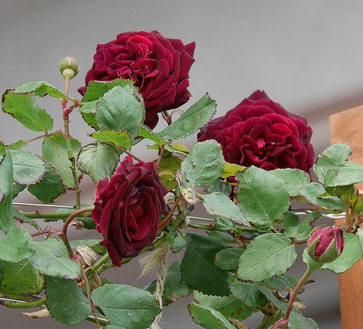 アンプルール・デュ・マロック(ツルバラ)の花が咲いた。2019年-1.jpg