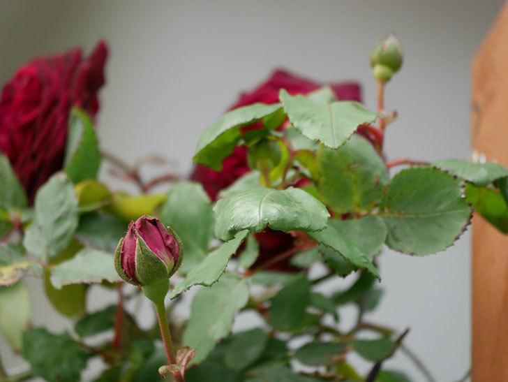 アンプルール・デュ・マロック(ツルバラ)の花が咲いた。2019年-10.jpg