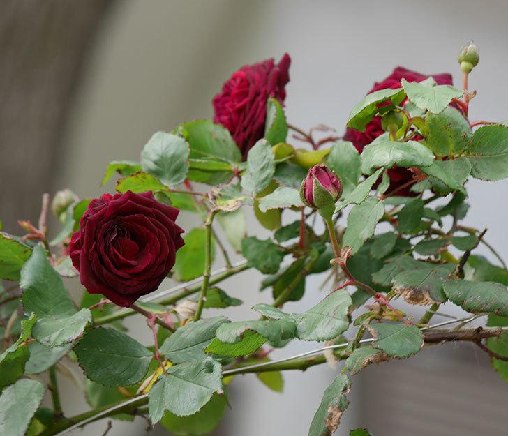 アンプルール・デュ・マロック(ツルバラ)の花が咲いた。2019年-11.jpg